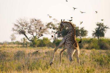 Playful giraffe (Great Plains Conservation)
